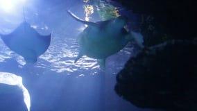 绿浪乌龟海龟属mydas、亦称绿海龟、黑海乌龟或者和平的绿海龟游泳在水面下 股票视频