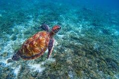 绿浪乌龟特写镜头 热带珊瑚礁的濒于灭绝的物种 免版税图库摄影