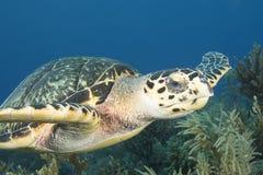 绿浪乌龟的水下的图象 图库摄影