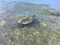 绿浪乌龟,在隧道海滩的海龟属Mydas,在考艾岛海岛上的雨天,夏威夷 图库摄影