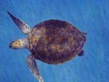 绿浪乌龟 图库摄影