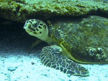 绿浪乌龟 免版税库存图片