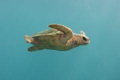 绿海龟游泳在印第安蓝色海洋 免版税库存图片