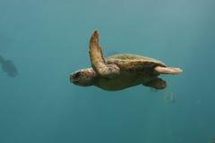 绿海龟游泳在印第安蓝色海洋2 免版税图库摄影