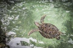绿海龟游泳在盐水湖 库存图片