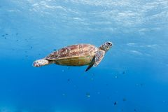绿海龟,阿波岛,菲律宾 免版税库存图片