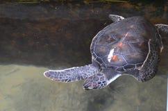 绿海龟-狂放的人生的珊瑚 免版税库存照片