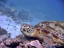 绿海龟 免版税库存照片