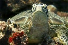 绿海龟 库存照片