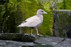 绿灰色鸥青少年 图库摄影