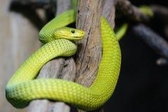 绿眼镜蛇, Dendroaspis viridis 免版税库存照片