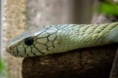 绿眼镜蛇Dendroaspis viridis 免版税图库摄影