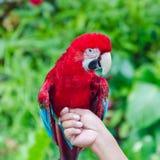 绿翅鸭金刚鹦鹉, Ara chloroptera 免版税库存图片