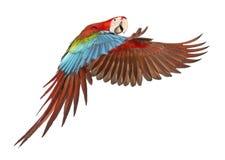 绿翅鸭金刚鹦鹉, Ara chloropterus, 1岁,飞行 免版税库存图片