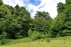 绿色、落叶树和灌木丛林,在他们中一个草甸有高草的 图库摄影