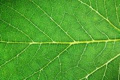 绿色与叶主脉、叶子静脉和凹线的叶子新详细的坚固性表面结构极端宏观特写镜头照片 免版税库存图片