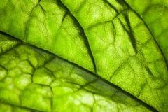 绿色与静脉纹理的叶子宏观照片 免版税库存图片