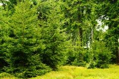 绿色云杉云杉属在常青具球果森林在猫头鹰山风景公园, Sudetes,波兰里受苦生长 库存图片