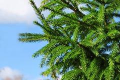 绿色云杉分支反对 免版税库存图片