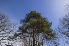 绿色云杉和光秃的树 免版税库存照片