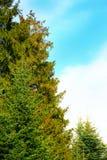 绿色云杉和天空 库存图片