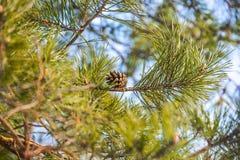 绿色云杉在森林里 免版税库存图片