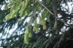 绿色云杉在森林里 库存图片