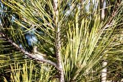 绿色云杉的果子 库存图片