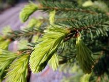 绿色云杉的枝杈 图库摄影