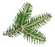 绿色云杉的枝杈 免版税库存图片