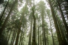 绿色云杉的森林 免版税图库摄影