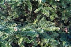 绿色云杉的背景 免版税图库摄影