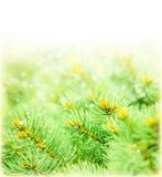绿色云杉的边界 免版税库存照片