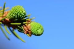 绿色云杉的针 免版税库存图片