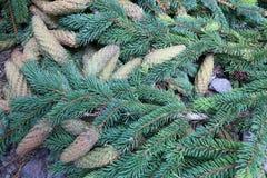 绿色云杉的锥体和分支 免版税库存图片