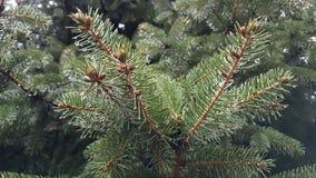 绿色云杉针  库存图片