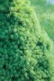 绿色云杉groving在户外庭院里 图库摄影