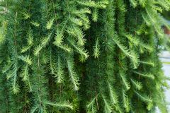绿色云杉groving在户外庭院里 免版税图库摄影