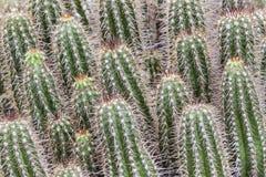 绿色仙人掌背景,小组多汁植物 库存图片