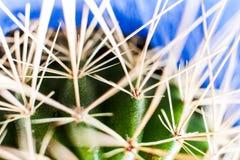 绿色仙人掌长的白色torns宏观抽象射击在蓝色背景的 免版税库存照片
