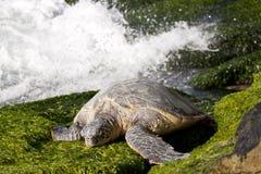 绿色休息的海龟 库存图片