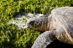 绿色休息的海龟 免版税库存照片