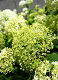 绿色八仙花属 免版税库存图片