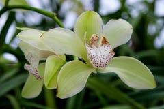 绿色兰花兰花的花 免版税库存照片