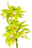绿色兰花 库存图片