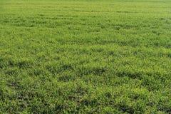 绿色冬天谷物的领域在春天 免版税库存图片