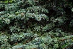 绿色冷杉分支特写镜头 圣诞节我的投资组合结构树向量版本 免版税库存照片