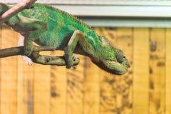 绿色变色蜥蜴坐在玻璃容器的一个木分支 图库摄影