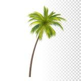 绿色可可椰子 库存图片