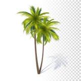绿色可可椰子 免版税库存照片